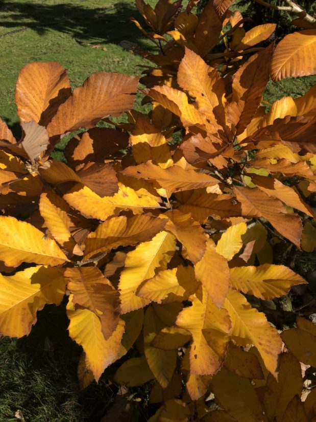 golden fall color leaves