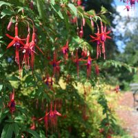 Photo of Hardy Fuchsia