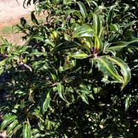 Photo of Narrowleaf English Holly