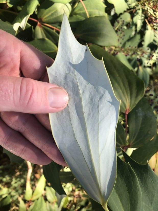 white underside of leaf