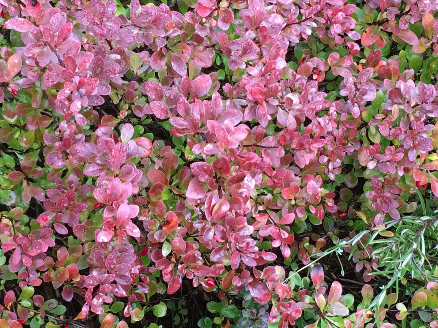 Close-up photo of Japanese Barberry