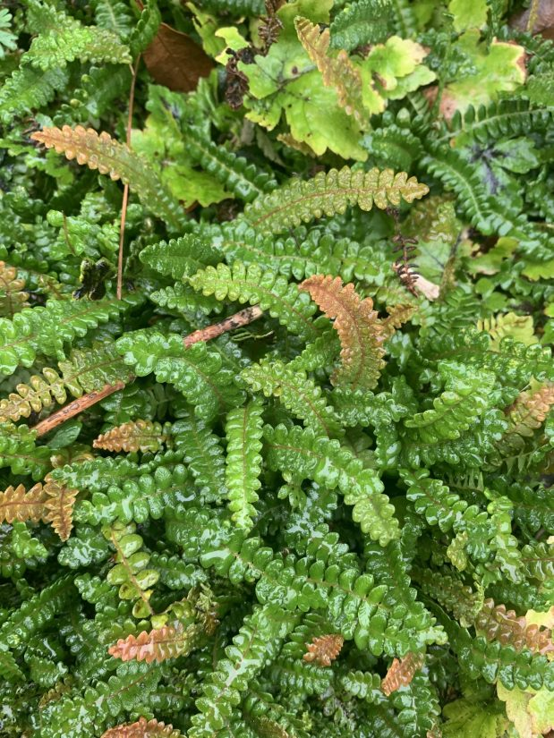 many fern fronds with a few tinged with orange