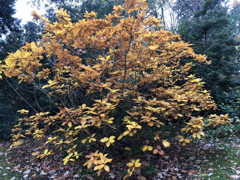 a shrubby quercus pontica in fall color with golden yellow leaves