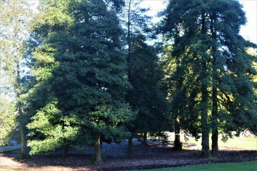 Photo of Ilex opaca, American Holly grove