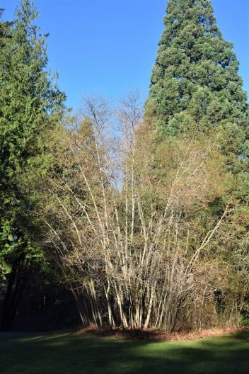 Photo of Sassafras albidum var. molle, Sassafras grove
