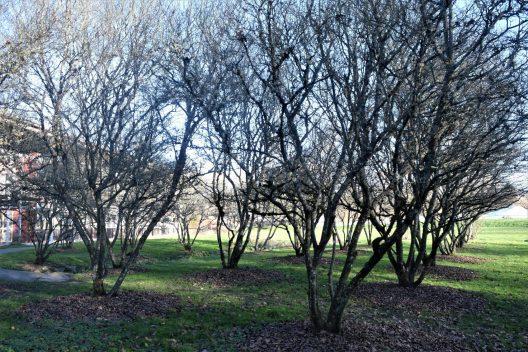 Photo of Amelanchier X grandiflora, Serviceberry grove