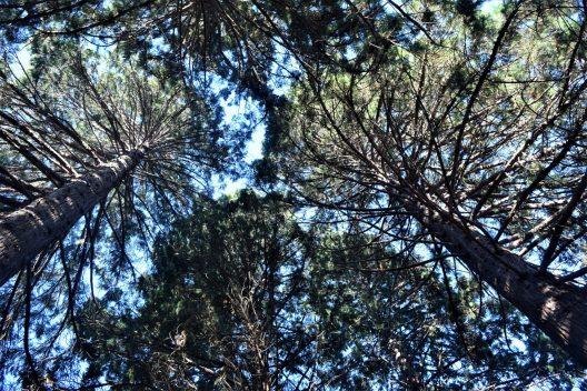 Photo of Sequoiadendron giganteum Giant Sequoia grove