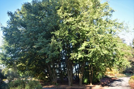 Photo of Sycopsis sinensis, Chinese Fighazel grove