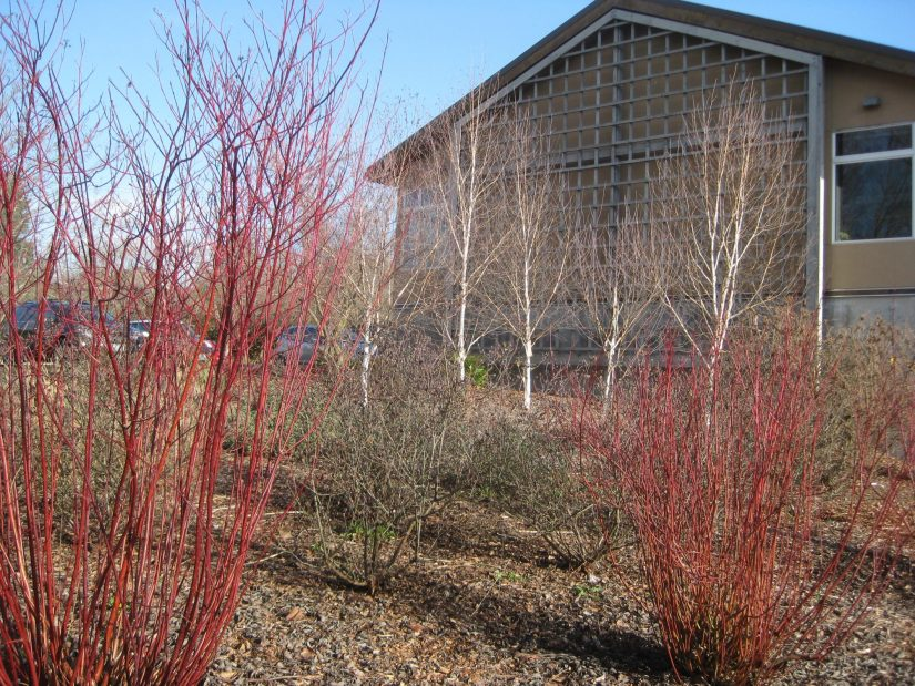 red-twig dogwood shrubs in the foreground with Merrill Hall in the background