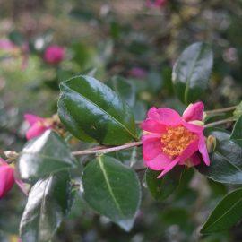 Photo of Briar Rose Camellia