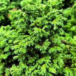 Photo of Dwarf Sawara Cypress
