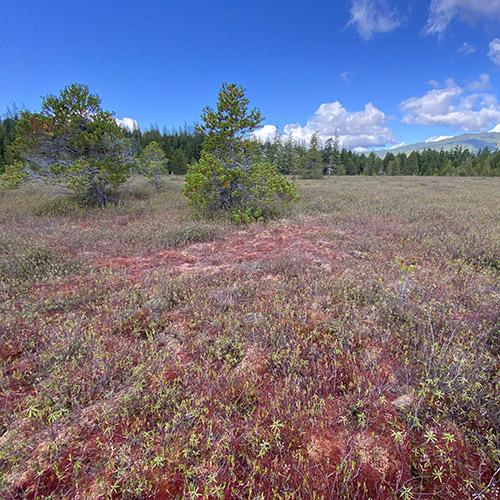 Crowberry bog and bog woodland