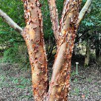 Photo of Paperbark Tree bark