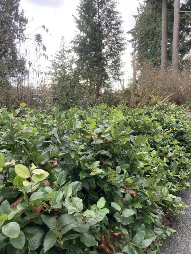 large patch of salal