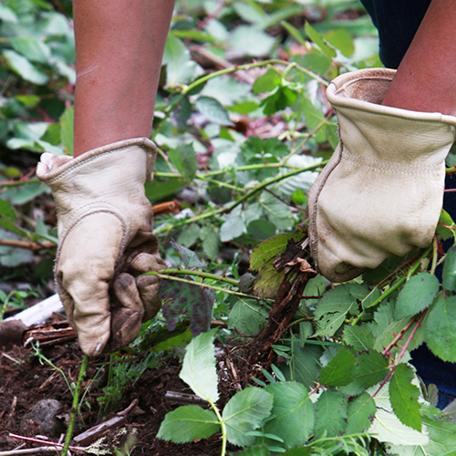 Gloved hands pulling out blackberry canes