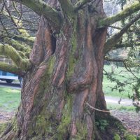 Metasequoia glyptostroboides trunk with grooves