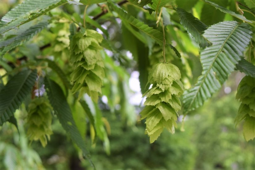 Photo of East Asian Hop-Hornbeam