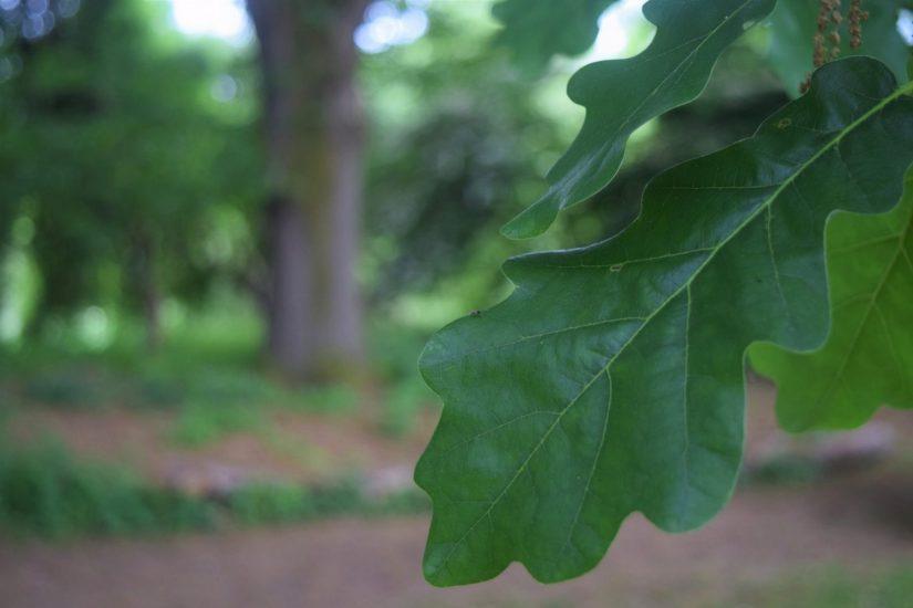 Photo of English Oak
