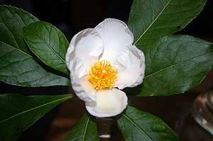 Close-up photo of Franklinia flower