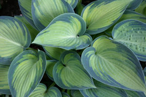 June 2008 Plant Profile Hosta June