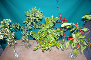 Selected cuttings from the Washington Park Arboretum (November 26, 2013 - December 9, 2013)