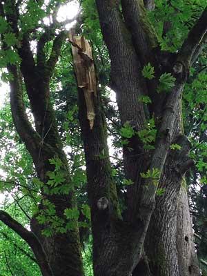 A broken <em>Acer macrophyll </em> (Big Leaf Maple) um stem located at the east end of Loderi Valley in the Washington Park Arboretum